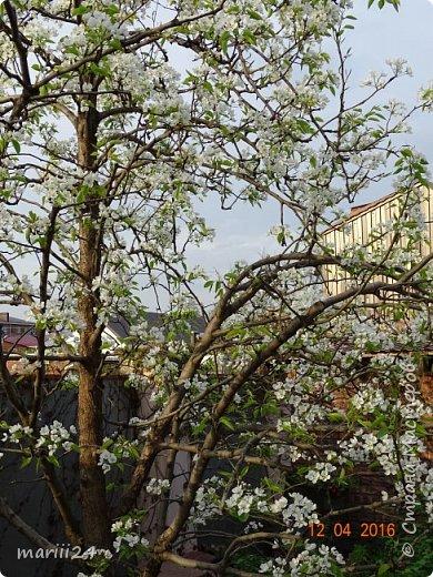 В этом году к нам весна пришла пораньше (недельки на 2). В палисаднике и в саду красота необыкновенная. Тюльпаны разошлись не на шутку: фото 17