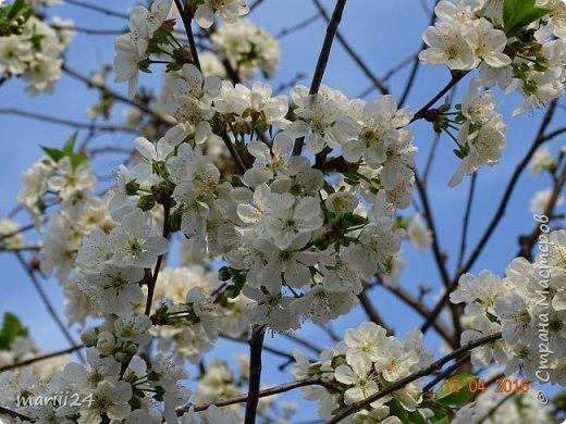 В этом году к нам весна пришла пораньше (недельки на 2). В палисаднике и в саду красота необыкновенная. Тюльпаны разошлись не на шутку: фото 15