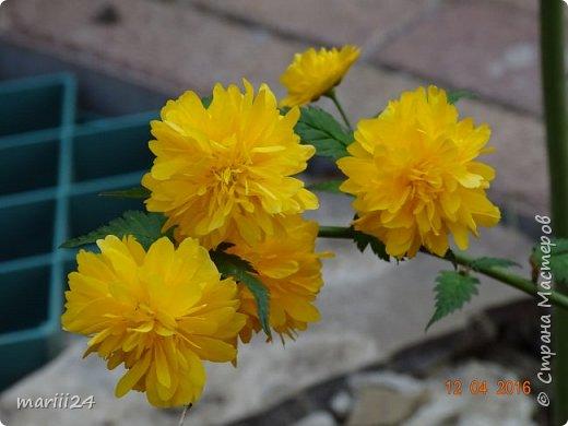 В этом году к нам весна пришла пораньше (недельки на 2). В палисаднике и в саду красота необыкновенная. Тюльпаны разошлись не на шутку: фото 14