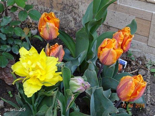 В этом году к нам весна пришла пораньше (недельки на 2). В палисаднике и в саду красота необыкновенная. Тюльпаны разошлись не на шутку: фото 5
