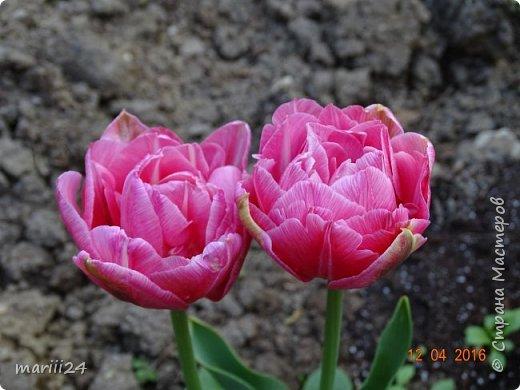 В этом году к нам весна пришла пораньше (недельки на 2). В палисаднике и в саду красота необыкновенная. Тюльпаны разошлись не на шутку: фото 4