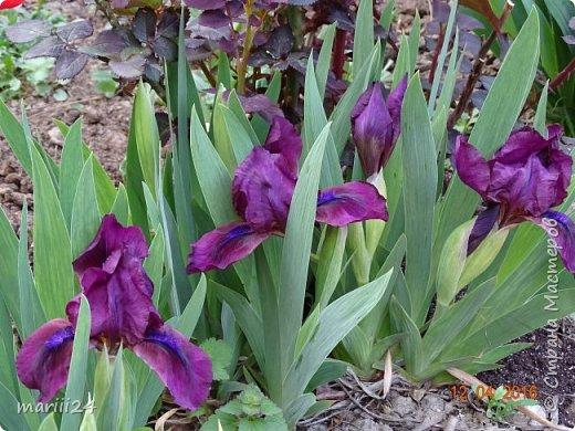 В этом году к нам весна пришла пораньше (недельки на 2). В палисаднике и в саду красота необыкновенная. Тюльпаны разошлись не на шутку: фото 13