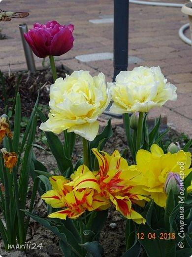 В этом году к нам весна пришла пораньше (недельки на 2). В палисаднике и в саду красота необыкновенная. Тюльпаны разошлись не на шутку: фото 3