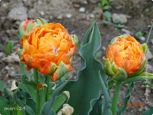 В этом году к нам весна пришла пораньше (недельки на 2). В палисаднике и в саду красота необыкновенная. Тюльпаны разошлись не на шутку: фото 2