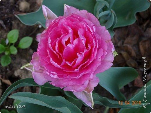В этом году к нам весна пришла пораньше (недельки на 2). В палисаднике и в саду красота необыкновенная. Тюльпаны разошлись не на шутку: фото 1