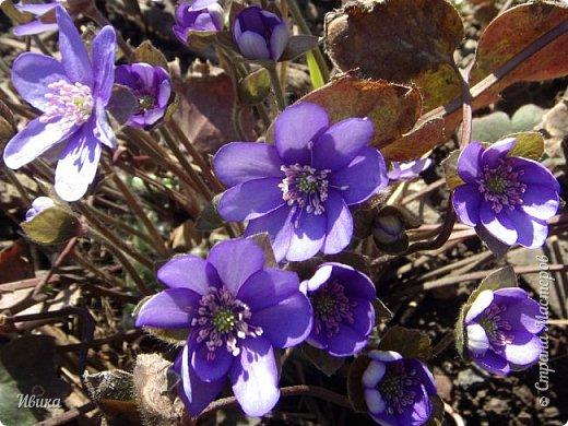 Из весенних цветов-малышей хочу особенно выделить печёночницу или перелеску. Этот цветочек я, много лет назад, привезла из Ровенской области (Украина). Очень он мне нравится. За многие годы он разросся не так уж и широко, как мне бы хотелось. По-видимому климат не тот, а может почва. Но всё же он растёт и цветёт! Фото не передаёт всей красоты этой малышки! Но, поверьте, увидев её воочию, вы бы охали и ахали над ней! Правда! Она - необыкновенна!  фото 12