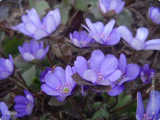 Из весенних цветов-малышей хочу особенно выделить печёночницу или перелеску. Этот цветочек я, много лет назад, привезла из Ровенской области (Украина). Очень он мне нравится. За многие годы он разросся не так уж и широко, как мне бы хотелось. По-видимому климат не тот, а может почва. Но всё же он растёт и цветёт! Фото не передаёт всей красоты этой малышки! Но, поверьте, увидев её воочию, вы бы охали и ахали над ней! Правда! Она - необыкновенна!  фото 18