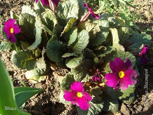 Из весенних цветов-малышей хочу особенно выделить печёночницу или перелеску. Этот цветочек я, много лет назад, привезла из Ровенской области (Украина). Очень он мне нравится. За многие годы он разросся не так уж и широко, как мне бы хотелось. По-видимому климат не тот, а может почва. Но всё же он растёт и цветёт! Фото не передаёт всей красоты этой малышки! Но, поверьте, увидев её воочию, вы бы охали и ахали над ней! Правда! Она - необыкновенна!  фото 26