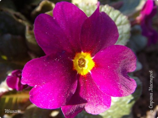 Из весенних цветов-малышей хочу особенно выделить печёночницу или перелеску. Этот цветочек я, много лет назад, привезла из Ровенской области (Украина). Очень он мне нравится. За многие годы он разросся не так уж и широко, как мне бы хотелось. По-видимому климат не тот, а может почва. Но всё же он растёт и цветёт! Фото не передаёт всей красоты этой малышки! Но, поверьте, увидев её воочию, вы бы охали и ахали над ней! Правда! Она - необыкновенна!  фото 27