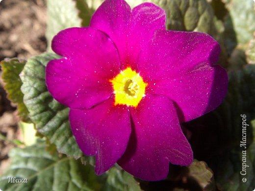 Из весенних цветов-малышей хочу особенно выделить печёночницу или перелеску. Этот цветочек я, много лет назад, привезла из Ровенской области (Украина). Очень он мне нравится. За многие годы он разросся не так уж и широко, как мне бы хотелось. По-видимому климат не тот, а может почва. Но всё же он растёт и цветёт! Фото не передаёт всей красоты этой малышки! Но, поверьте, увидев её воочию, вы бы охали и ахали над ней! Правда! Она - необыкновенна!  фото 28