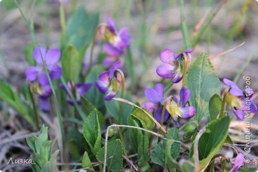 Всем привет!Это мой самый первый блог.Я хотела бы рассказать вам о природе моего родного края во время весны.Природа как бы просыпается от зимней спячки, на деревьях появляются почки, начинают летать насекомые да и люди тоже просыпаются))) Вот такое хорошее время года-весна. P.S. да и я родилась весной)))) фото 1