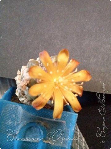 Добрый день мастерам, мастерицам и гостям сайта! Продолжаю репортаж о цветении моих любимых кактусов. Начало репортажа здесь - http://stranamasterov.ru/node/1019329. В первом репортаже я показал начало цветения кактуса Cintia knizei. Это произошло 9 апреля. Кактус продолжал раскрывать цветок ещё три дня. Это снимок от 10 апреля. фото 3