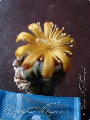 Добрый день мастерам, мастерицам и гостям сайта! Продолжаю репортаж о цветении моих любимых кактусов. Начало репортажа здесь - http://stranamasterov.ru/node/1019329. В первом репортаже я показал начало цветения кактуса Cintia knizei. Это произошло 9 апреля. Кактус продолжал раскрывать цветок ещё три дня. Это снимок от 10 апреля. фото 4