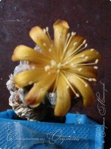 Добрый день мастерам, мастерицам и гостям сайта! Продолжаю репортаж о цветении моих любимых кактусов. Начало репортажа здесь - http://stranamasterov.ru/node/1019329. В первом репортаже я показал начало цветения кактуса Cintia knizei. Это произошло 9 апреля. Кактус продолжал раскрывать цветок ещё три дня. Это снимок от 10 апреля. фото 5