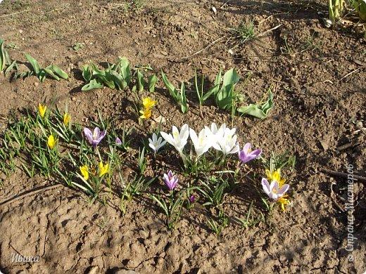 """Продолжаю небольшой рассказ о весенних цветочках-малышах. Очередные мои любимцы - крокусы большие. Бывают самых разных цветов. У меня было 5 разных.  В этом году, после пересадки на новое место """"жительства"""" расцвели 4х цветов. Не расцвел только чернильного цвета, надеюсь,  что просто маленькие луковички и на следующий год расцветут все 5 видов. фото 4"""