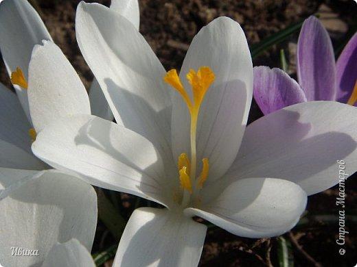 """Продолжаю небольшой рассказ о весенних цветочках-малышах. Очередные мои любимцы - крокусы большие. Бывают самых разных цветов. У меня было 5 разных.  В этом году, после пересадки на новое место """"жительства"""" расцвели 4х цветов. Не расцвел только чернильного цвета, надеюсь,  что просто маленькие луковички и на следующий год расцветут все 5 видов. фото 11"""