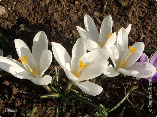 """Продолжаю небольшой рассказ о весенних цветочках-малышах. Очередные мои любимцы - крокусы большие. Бывают самых разных цветов. У меня было 5 разных.  В этом году, после пересадки на новое место """"жительства"""" расцвели 4х цветов. Не расцвел только чернильного цвета, надеюсь,  что просто маленькие луковички и на следующий год расцветут все 5 видов. фото 12"""