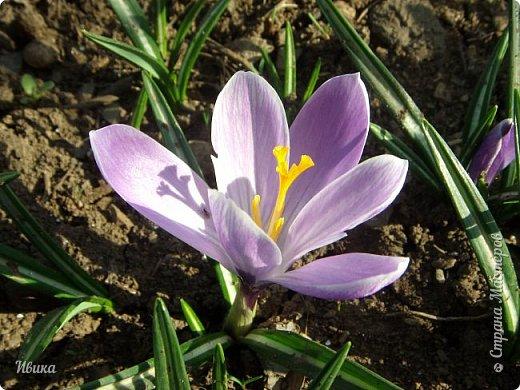 """Продолжаю небольшой рассказ о весенних цветочках-малышах. Очередные мои любимцы - крокусы большие. Бывают самых разных цветов. У меня было 5 разных.  В этом году, после пересадки на новое место """"жительства"""" расцвели 4х цветов. Не расцвел только чернильного цвета, надеюсь,  что просто маленькие луковички и на следующий год расцветут все 5 видов. фото 14"""