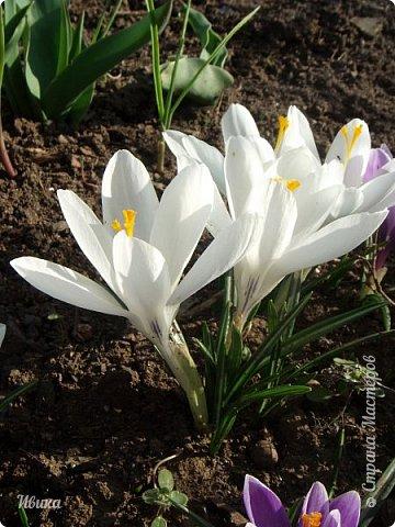 """Продолжаю небольшой рассказ о весенних цветочках-малышах. Очередные мои любимцы - крокусы большие. Бывают самых разных цветов. У меня было 5 разных.  В этом году, после пересадки на новое место """"жительства"""" расцвели 4х цветов. Не расцвел только чернильного цвета, надеюсь,  что просто маленькие луковички и на следующий год расцветут все 5 видов. фото 15"""
