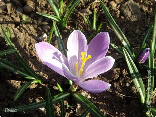 """Продолжаю небольшой рассказ о весенних цветочках-малышах. Очередные мои любимцы - крокусы большие. Бывают самых разных цветов. У меня было 5 разных.  В этом году, после пересадки на новое место """"жительства"""" расцвели 4х цветов. Не расцвел только чернильного цвета, надеюсь,  что просто маленькие луковички и на следующий год расцветут все 5 видов. фото 17"""
