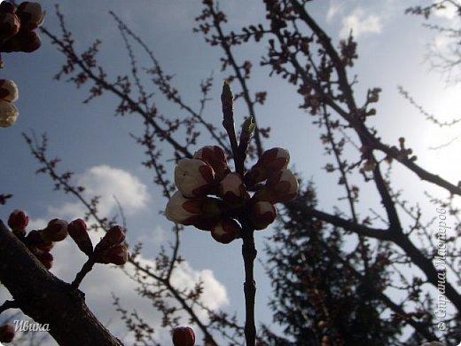 Настала у нас пора цветения абрикосов. Аромат стоит вокруг!!! Облака на земле! И подмеченная закономерность - зацвели абрикосы - похолодает и будет дождь. Так и случилось. На второй день цветения - туман, дождь и снижение температуры... фото 4