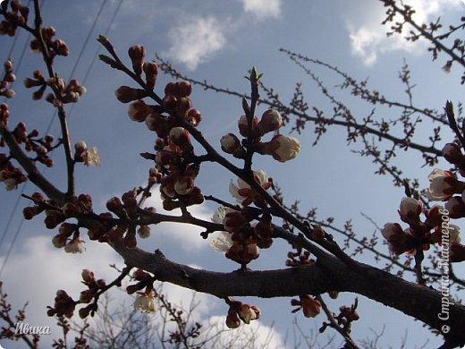 Настала у нас пора цветения абрикосов. Аромат стоит вокруг!!! Облака на земле! И подмеченная закономерность - зацвели абрикосы - похолодает и будет дождь. Так и случилось. На второй день цветения - туман, дождь и снижение температуры... фото 5
