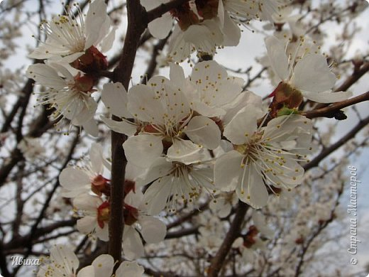 Настала у нас пора цветения абрикосов. Аромат стоит вокруг!!! Облака на земле! И подмеченная закономерность - зацвели абрикосы - похолодает и будет дождь. Так и случилось. На второй день цветения - туман, дождь и снижение температуры... фото 7