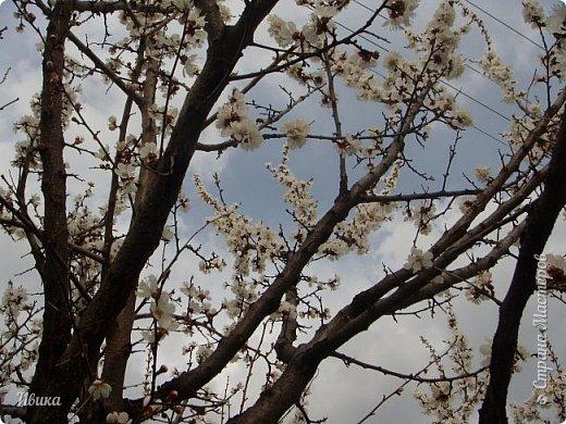 Настала у нас пора цветения абрикосов. Аромат стоит вокруг!!! Облака на земле! И подмеченная закономерность - зацвели абрикосы - похолодает и будет дождь. Так и случилось. На второй день цветения - туман, дождь и снижение температуры... фото 8