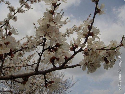 Настала у нас пора цветения абрикосов. Аромат стоит вокруг!!! Облака на земле! И подмеченная закономерность - зацвели абрикосы - похолодает и будет дождь. Так и случилось. На второй день цветения - туман, дождь и снижение температуры... фото 9
