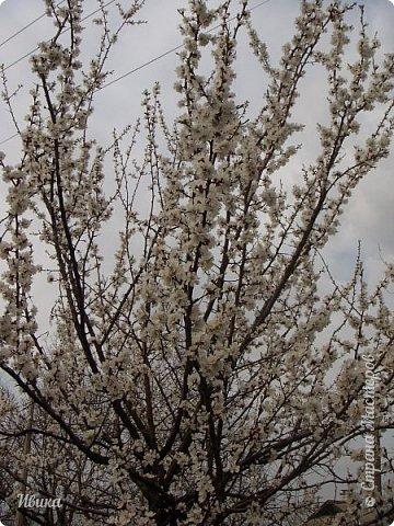 Настала у нас пора цветения абрикосов. Аромат стоит вокруг!!! Облака на земле! И подмеченная закономерность - зацвели абрикосы - похолодает и будет дождь. Так и случилось. На второй день цветения - туман, дождь и снижение температуры... фото 6