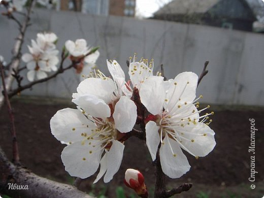Настала у нас пора цветения абрикосов. Аромат стоит вокруг!!! Облака на земле! И подмеченная закономерность - зацвели абрикосы - похолодает и будет дождь. Так и случилось. На второй день цветения - туман, дождь и снижение температуры... фото 11