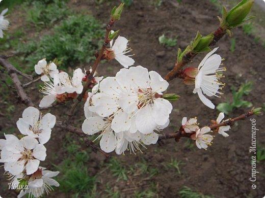 Настала у нас пора цветения абрикосов. Аромат стоит вокруг!!! Облака на земле! И подмеченная закономерность - зацвели абрикосы - похолодает и будет дождь. Так и случилось. На второй день цветения - туман, дождь и снижение температуры... фото 12