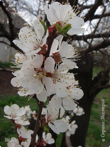 Настала у нас пора цветения абрикосов. Аромат стоит вокруг!!! Облака на земле! И подмеченная закономерность - зацвели абрикосы - похолодает и будет дождь. Так и случилось. На второй день цветения - туман, дождь и снижение температуры... фото 13