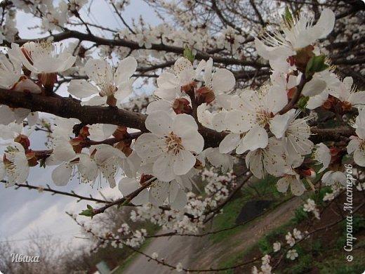 Настала у нас пора цветения абрикосов. Аромат стоит вокруг!!! Облака на земле! И подмеченная закономерность - зацвели абрикосы - похолодает и будет дождь. Так и случилось. На второй день цветения - туман, дождь и снижение температуры... фото 14