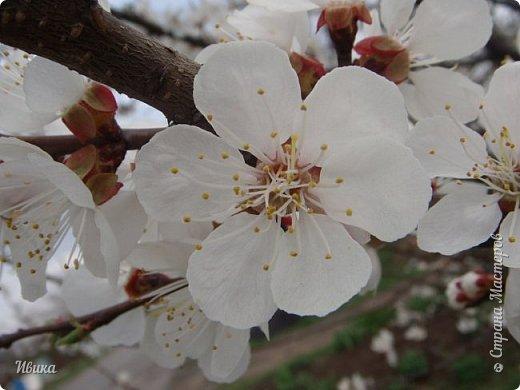 Настала у нас пора цветения абрикосов. Аромат стоит вокруг!!! Облака на земле! И подмеченная закономерность - зацвели абрикосы - похолодает и будет дождь. Так и случилось. На второй день цветения - туман, дождь и снижение температуры... фото 1