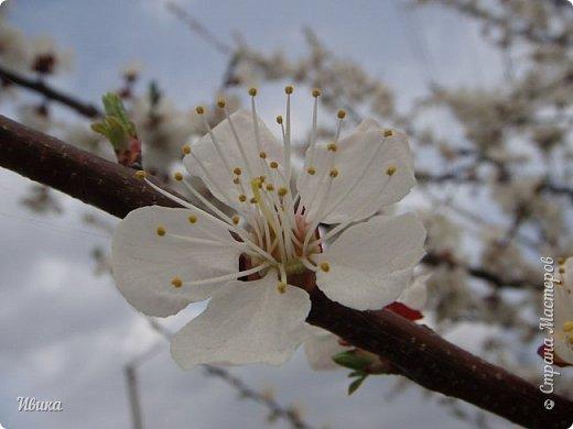 Настала у нас пора цветения абрикосов. Аромат стоит вокруг!!! Облака на земле! И подмеченная закономерность - зацвели абрикосы - похолодает и будет дождь. Так и случилось. На второй день цветения - туман, дождь и снижение температуры... фото 15