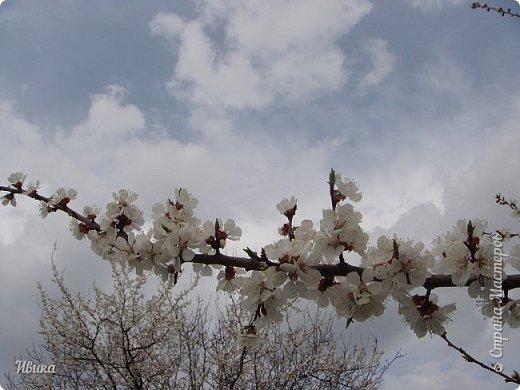Настала у нас пора цветения абрикосов. Аромат стоит вокруг!!! Облака на земле! И подмеченная закономерность - зацвели абрикосы - похолодает и будет дождь. Так и случилось. На второй день цветения - туман, дождь и снижение температуры... фото 16