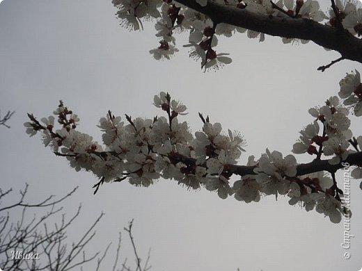 Настала у нас пора цветения абрикосов. Аромат стоит вокруг!!! Облака на земле! И подмеченная закономерность - зацвели абрикосы - похолодает и будет дождь. Так и случилось. На второй день цветения - туман, дождь и снижение температуры... фото 18
