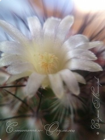 """Доброго времени суток, Страна! Продолжаю прямые репортажи с места события -:). Мои любимые кактусёнки продолжают цветение. Начало репортажей о цветении здесь - http://stranamasterov.ru/node/1019329, http://stranamasterov.ru/node/1020374. На фото цветок кактуса Cintia knizei, расцвёл бутон на втором кактусе этого вида. Снимок сделал вчера вечером, попробовал снимать с помощью макрообъектива на камере сотового (купил """"игрушку"""" на Алиэкспрессе, тренируюсь использовать). фото 3"""