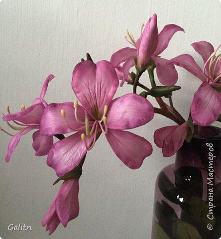 Всем привет!  Баухиния,  она названа в честь швейцарских ботаников шестнадцатого века. Баухинию, кроме научного названия «Bauhinia», еще называют «орхидейное дерево» из-за схожести ее с орхидеей. Она чем-то похожа на бабочек. Наверно, такие ассоциации возникают из-за того, что ее листья складываются на ночь пополам вдоль центральной жилки. Такое еще происходит при сильном жаре или недостатке влаги. Так происходит спасение и от засухи. фото 1