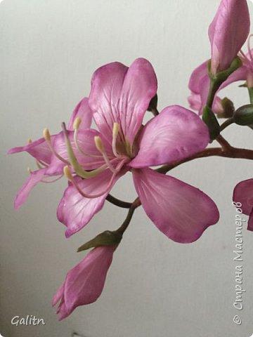 Всем привет!  Баухиния,  она названа в честь швейцарских ботаников шестнадцатого века. Баухинию, кроме научного названия «Bauhinia», еще называют «орхидейное дерево» из-за схожести ее с орхидеей. Она чем-то похожа на бабочек. Наверно, такие ассоциации возникают из-за того, что ее листья складываются на ночь пополам вдоль центральной жилки. Такое еще происходит при сильном жаре или недостатке влаги. Так происходит спасение и от засухи. фото 3