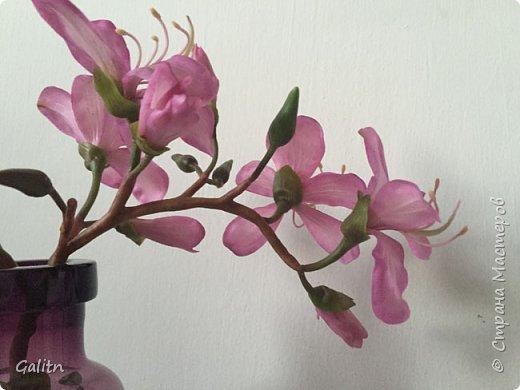 Всем привет!  Баухиния,  она названа в честь швейцарских ботаников шестнадцатого века. Баухинию, кроме научного названия «Bauhinia», еще называют «орхидейное дерево» из-за схожести ее с орхидеей. Она чем-то похожа на бабочек. Наверно, такие ассоциации возникают из-за того, что ее листья складываются на ночь пополам вдоль центральной жилки. Такое еще происходит при сильном жаре или недостатке влаги. Так происходит спасение и от засухи. фото 4