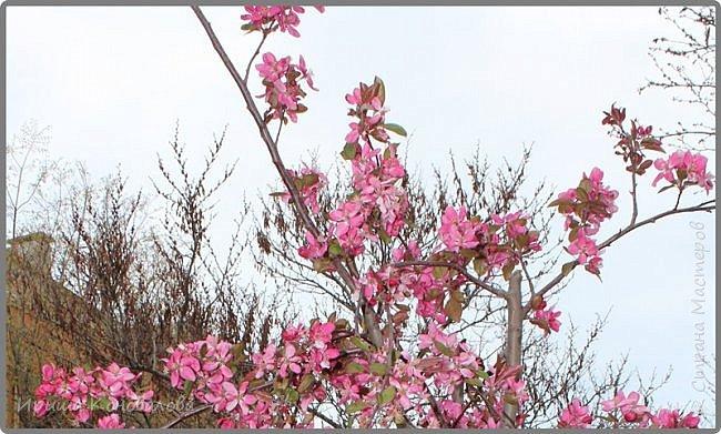 Добрый вечер, дорогие чудесники. Предлагаю к просмотру еще несколько фото. Съемки делала в первых числах апреля. Здесь цветение началось в феврале. Но деревья и кустарники зацветают не сразу, а по очереди. И до середины апреля часть деревьев стоит вообще без зелени. фото 9