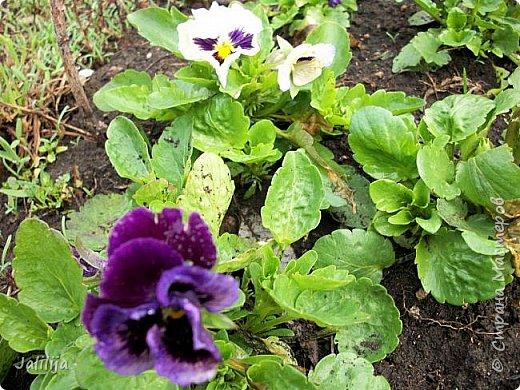 Многоуважаемая Страна!  Мой очередной репортаж из природы. У меня, наконец, расцвели представители всех виол, которые у меня есть в саду. У нас в Башкирии в этом году ранняя весна, иначе бы их ещё не было. Я поняла по комментариям к предыдущему репортажу, среди нас есть любительницы виол. Смотрите и наслаждайтесь. фото 18