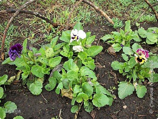 Многоуважаемая Страна!  Мой очередной репортаж из природы. У меня, наконец, расцвели представители всех виол, которые у меня есть в саду. У нас в Башкирии в этом году ранняя весна, иначе бы их ещё не было. Я поняла по комментариям к предыдущему репортажу, среди нас есть любительницы виол. Смотрите и наслаждайтесь. фото 24