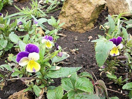 Многоуважаемая Страна!  Мой очередной репортаж из природы. У меня, наконец, расцвели представители всех виол, которые у меня есть в саду. У нас в Башкирии в этом году ранняя весна, иначе бы их ещё не было. Я поняла по комментариям к предыдущему репортажу, среди нас есть любительницы виол. Смотрите и наслаждайтесь. фото 26