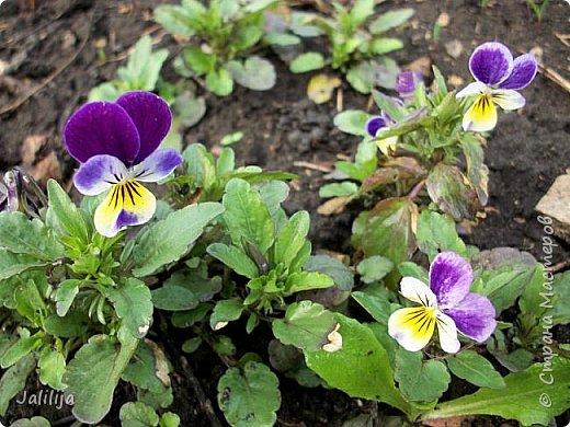 Многоуважаемая Страна!  Мой очередной репортаж из природы. У меня, наконец, расцвели представители всех виол, которые у меня есть в саду. У нас в Башкирии в этом году ранняя весна, иначе бы их ещё не было. Я поняла по комментариям к предыдущему репортажу, среди нас есть любительницы виол. Смотрите и наслаждайтесь. фото 28