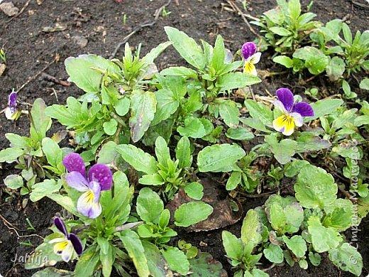 Многоуважаемая Страна!  Мой очередной репортаж из природы. У меня, наконец, расцвели представители всех виол, которые у меня есть в саду. У нас в Башкирии в этом году ранняя весна, иначе бы их ещё не было. Я поняла по комментариям к предыдущему репортажу, среди нас есть любительницы виол. Смотрите и наслаждайтесь. фото 29