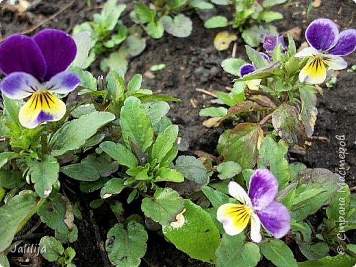Многоуважаемая Страна!  Мой очередной репортаж из природы. У меня, наконец, расцвели представители всех виол, которые у меня есть в саду. У нас в Башкирии в этом году ранняя весна, иначе бы их ещё не было. Я поняла по комментариям к предыдущему репортажу, среди нас есть любительницы виол. Смотрите и наслаждайтесь. фото 30