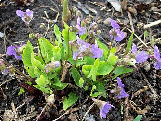 Многоуважаемая Страна!  Мой очередной репортаж из природы. У меня, наконец, расцвели представители всех виол, которые у меня есть в саду. У нас в Башкирии в этом году ранняя весна, иначе бы их ещё не было. Я поняла по комментариям к предыдущему репортажу, среди нас есть любительницы виол. Смотрите и наслаждайтесь. фото 32